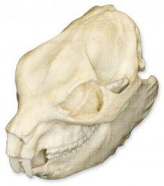 Procavia capensis