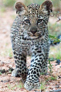 Leopard Cub by Mister-E on Flickr. :)