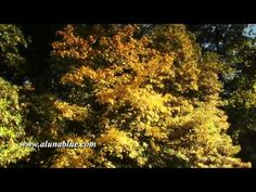 A tree of autumn gold shimmers in a breeze.     Purchase this clip from A Luna Blue:   http://www.alunablue.com/nature-stock-footage/autumn-gold/clip-01.html     A Luna Blue Stock Video.   Imagery for Your Imagination.   http://www.alunablue.com