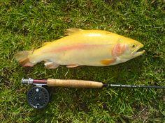 Albino Rainbow Trout at Brookwood
