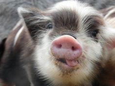 The best picture of a baby KuneKune ever.