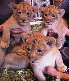At the Honolulu Zoo in Hawaii, 6-week-old lion cubs have grown tremendously, and now weigh about 14 pounds. So adorbs!