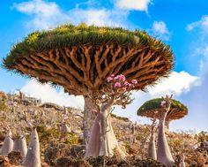 Unusual flora and fauna abound on the beautiful Socotra Island off the coast of main land Yemen, sometimes called the most alien place on earth. I captured this image of a dragon blood tree with my first DSLR while I was still trying to learn how to use it. I want to go back now that I am more experienced and try and improve on the shot but unfortunately travel is not safe at the moment.