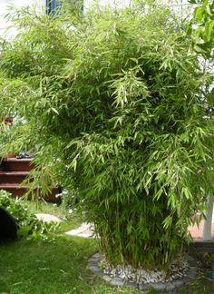 Bambu som insynsskydd.