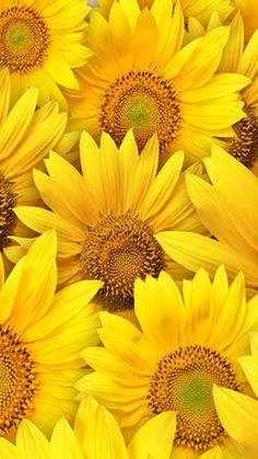 Sunflowers And Daisies, Yellow Flowers, Beautiful Flowers, Flowers Nature, Sunflower Pictures, Sunflower Art, Yellow Sunflower, Image Zen, Sunflower Iphone Wallpaper