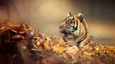 Tiger HD Wallpapers for Mobile