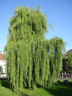 A weeping willow (Salix × sepulcralis 'Chrysocoma')