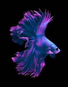 Blue Violet Betta fish
