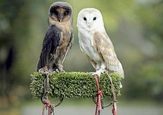 Sable, a rare Black Barn Owl with melanism. Currently cared for at the Hereford Owl Sanctuary.