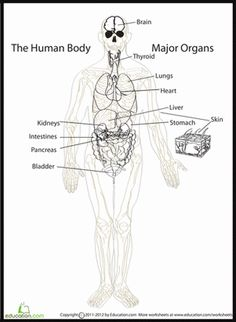 For those of you studying human anatomy, here is a great diagram of the major organs in our body!