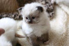 Adorable Angelheart Ragdoll kittens