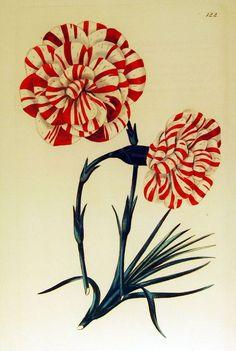 botanical / scientific illustration