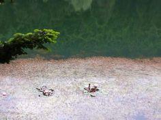 Nilufer cicekleri