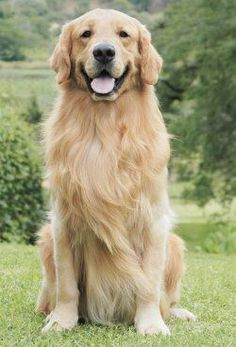 The 2nd dog I get I will be buying a female golden retriever puppy. I plan to raise Goldens & Labs. #GoldenRetriever
