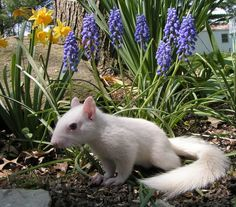 #albino #squirrel