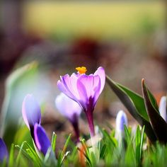 first signs of spring.. .crocus