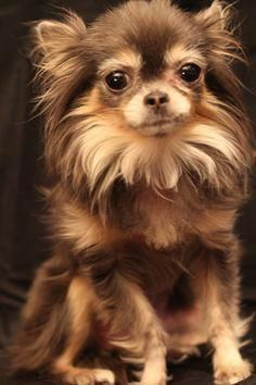 Chihuahua Care - 5 Important Issues Every Owner Should Know - Dog Pets Zone Teacup Chihuahua, Brown Chihuahua, Long Haired Chihuahua, Chihuahua Puppies, Cute Puppies, Dogs And Puppies, Cute Dogs, Doggies, Pomchi Puppies