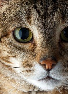 "rokuthecat: "" Oscar by mazit cat,little tiger,portrait """