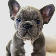 The major breeds of bulldogs are English bulldog, American bulldog, and French bulldog. The bulldog has a broad shoulder which matches with the head. Blue French Bulldog Puppies, Cute French Bulldog, Blue French Bulldogs, Blue Bulldog, Funny Bulldog, Cute Puppies, Cute Dogs, Dogs And Puppies, Frenchie Puppies