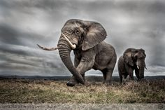 """Photograph of a large bull elephant in dark and overcast conditions, gracefully feeding and watching over his herd entitled """"The"""" by Andrew Aveley on Outdoorphoto Weekly Choice Galleries"""