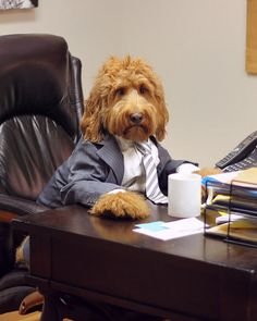 Barker's Bizarre: Oliver the Goldendoodle, in pictures - Telegraph