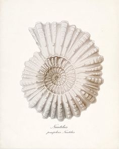 Nautilus Print