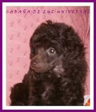 Resultado de imagen para caniches micro toy en capital federal. #cachorros #caniches #marrones