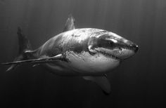 Great great white shark, CRAZY i know but i want to swim with one i'll probably piss my wet suit though