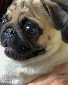 Cute Baby Pugs, Cute Pug Puppies, Cute Funny Dogs, Cute Funny Animals, Funny Pugs, Doggies, Cute Pug Pictures, Baby Animals Pictures, Super Cute Animals