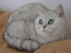 english short-haired cats | British Shorthair Cat. Purrfect looking cat.