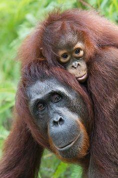 Mama orangutan taking baby for a jungle walk ...