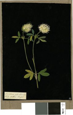 Trifolium Ochroleucum, from an album (Vol.IX, 61); pale yellow trefoil Collage of coloured papers, with bodycolour and watercolour, on black ink background