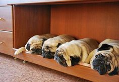 If I had this desk maybe I could sneak in my pugs to work