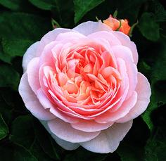Sweet Juliet -David Austin Roses @栃木県那須郡那須町大字高久甲字西表4453-27