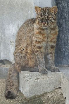 The Tsushima leopard cat is found only on Tsushima Island in western Japan. It's critically endangered, so you'll be very lucky to spot one in the wild. This is a captive-bred Tsushima cat at Fukuoka Zoo.