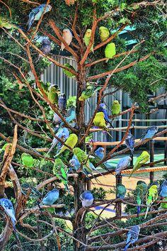 HYDERABAD BIRDS BREEDER: budgies colony | Budgies | Budgies