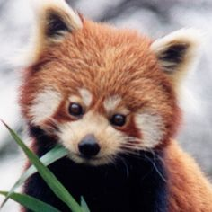 I feel this picture demonstrates the innocence and youthfullness that I'm trying to convey in the red panda