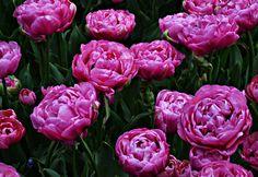 Mooie Roos Bloemen in Keukenhof