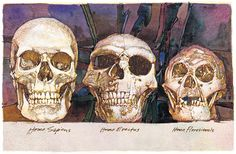 """3 different skulls of hominids...the last (far right) is what we know as """"hobbits""""...Drawing by Barron Storey I believe"""