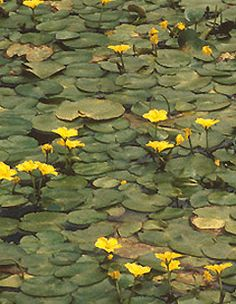 Google Image Result for http://plants.ifas.ufl.edu/images/nympel/nympel2giflrg.gif