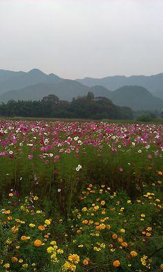 Flower garden[cosmos&marigold] in tanba,japan