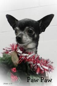 Paw Paw - Chihuahua ADOPTED!!