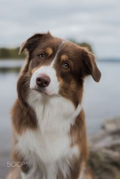 (Louise Glansberg) Cute Baby Dogs, Cute Dogs And Puppies, I Love Dogs, Pet Dogs, Dog Cat, Doggies, Australian Shepherd Red Tri, Australian Shepherd Puppies, Aussie Dogs