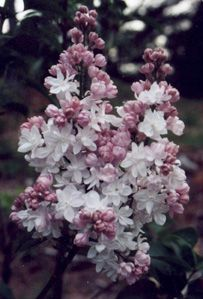 """Krasavitsa Moskvy - Double white lilac -""""beauty of Moscow."""" Showy white flowers, pink buds."""