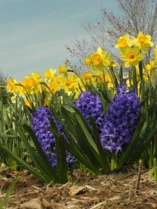 American Meadows has been supplying gardeners with the best wildflower seeds, perennials, bulbs and how-to information since Guaranteed. Daffodil Bulbs, Daffodils, Tulips, Spring Flowering Bulbs, Spring Bulbs, Wild Flowers, Beautiful Flowers, Edging Plants, Hyacinth Flowers