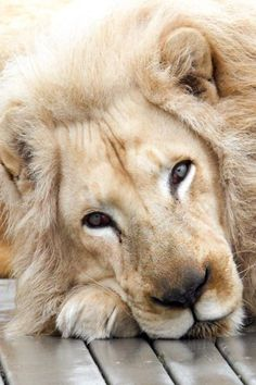 Such a sweet lion! ✿ Beautiful Pictures