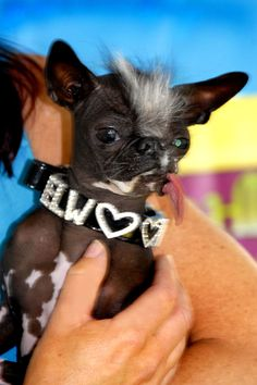 Elwood was the 2007 winner of the World's Ugliest Dog Contest, and had come in second in the contest the year before.