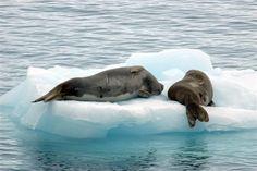 Crabeater seals on an ice floe near Palmer Station, Antarctica. Antarctica, Photo Library, Seals, Polar Bear, Mammals, Mermaids, Zero, Ice, Adventure