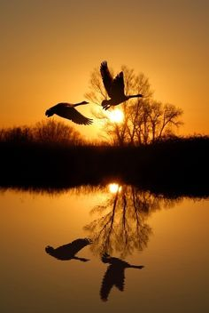 Canadian Geese beating the Sunset to their night time haven.