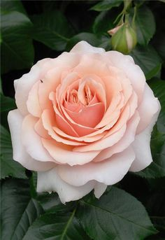 """ Chimène "" (HARzazz) also known as "" Lady Jane Grey "" - Hybrid tea rose - Rose amber - Strong fragrance - Harkness (UK), 1998"